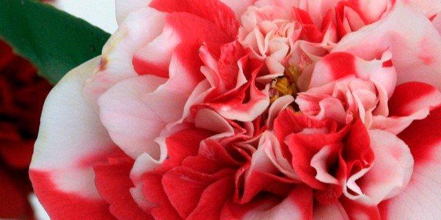 """Camellia japonica """"General Coletti"""""""