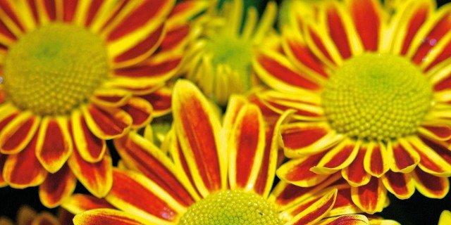 Crisantemi in piena terra