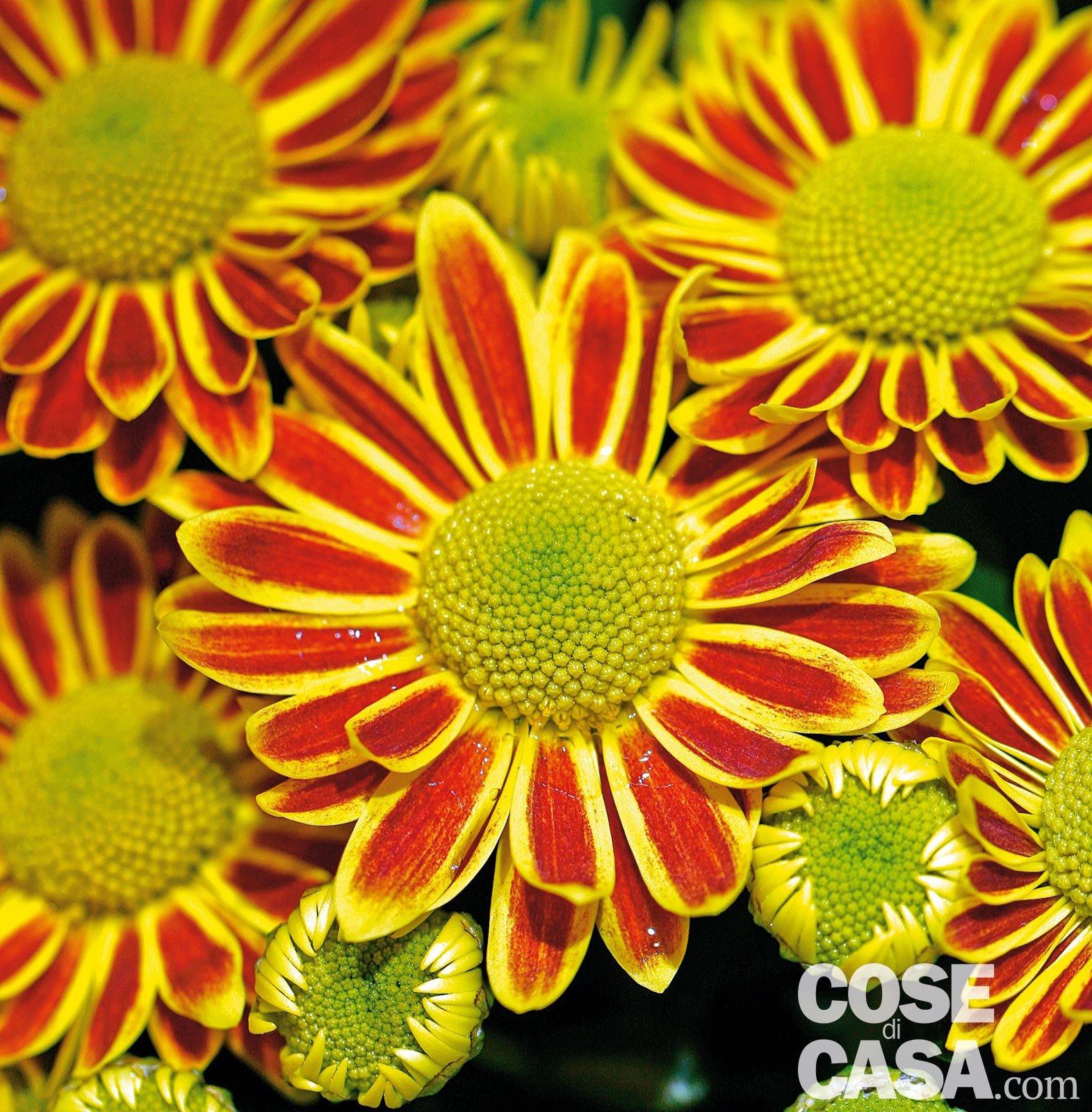 Crisantemi in piena terra cose di casa - Crisantemi in vaso ...