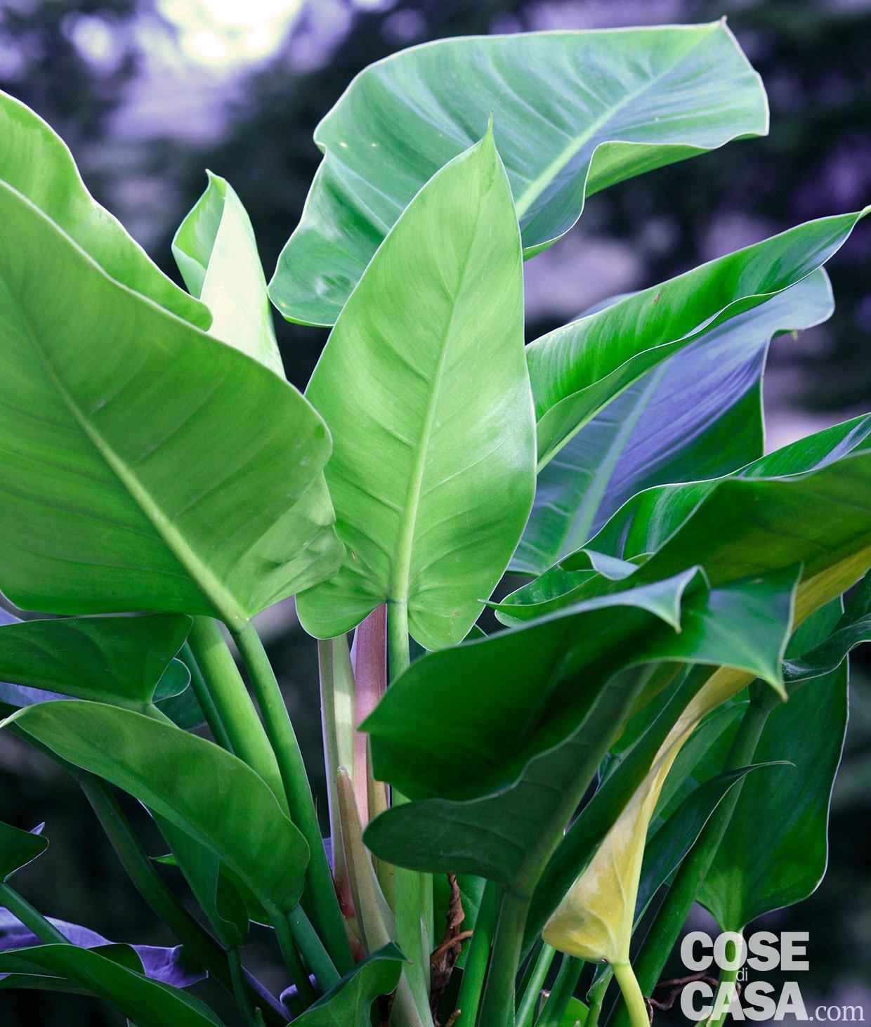 Il filodendro facile in appartamento cose di casa - Piante verdi da esterno ...