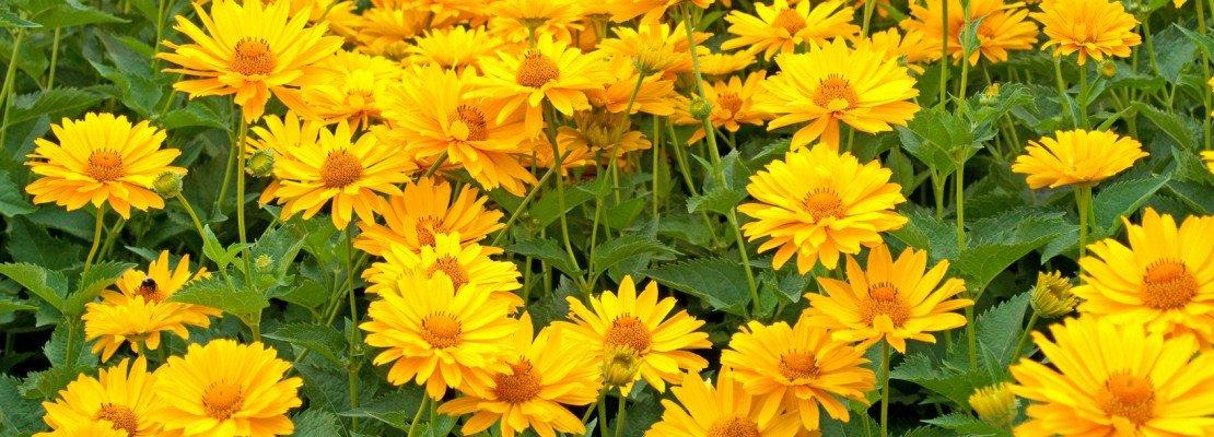 Fiori gialli da piantare adesso per riscaldare l 39 autunno for Fiori che sbocciano