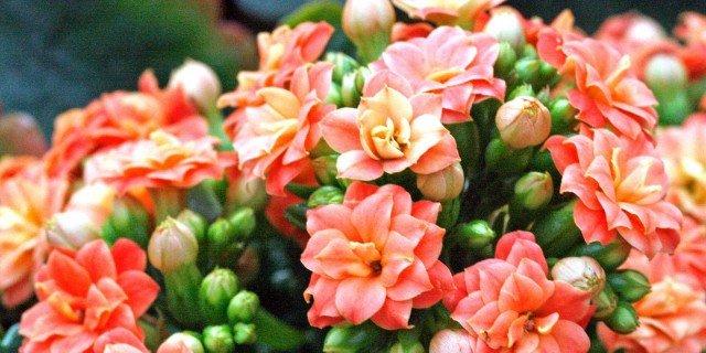 Kalanchoe blossfeldiana spp. – calancola