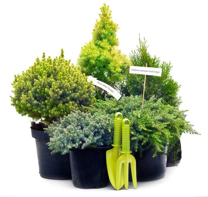 Le conifere nane per il terrazzo cose di casa - Pino nano da giardino ...