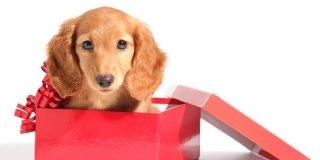 cucciolo in regalo