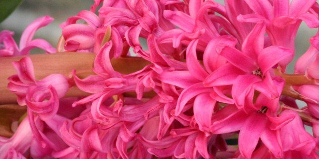 Hyacintus orientalis Jan Bos, giacinto Jan Bos