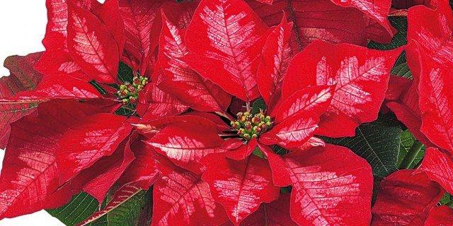Stella Di Natale: Cure Per Farla Durare