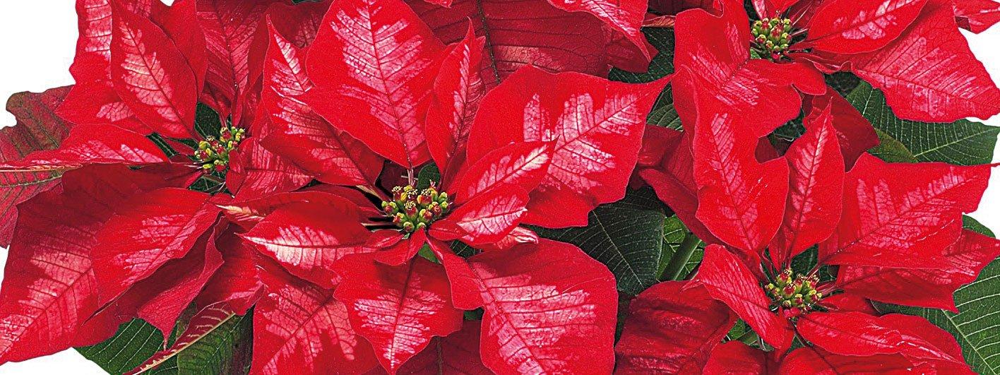 Come Curare Stella Di Natale Pianta.Stella Di Natale Cure Per Farla Durare Cose Di Casa