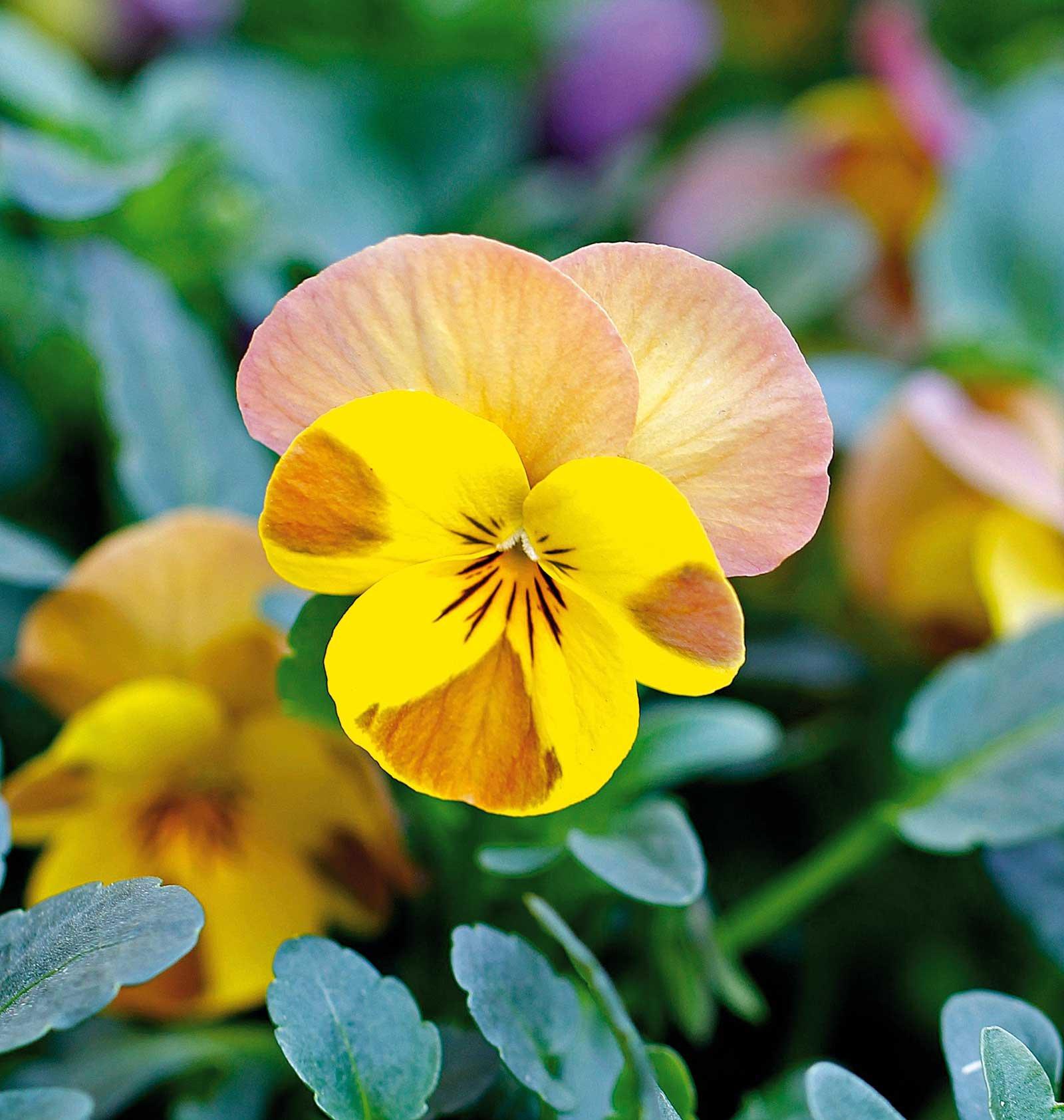 In edicola dal 23 dicembre casa in fiore di gennaio cose for Viola cornuta inverno