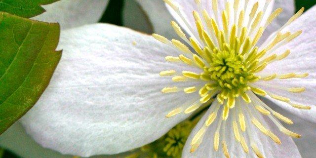Clematis montana varietà Fragrant Spring
