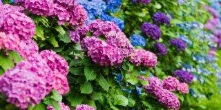 ortensia viola, blu, rosa