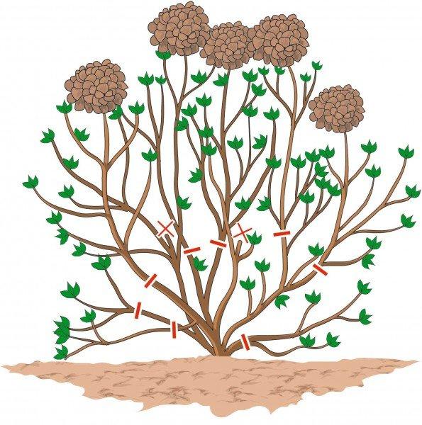 4. Schema dei tagli di potatura visti tutti insieme.