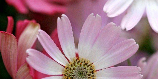 Senecio cruentum Hybrida Grandiflora – Cineraria da fiore