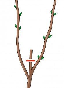 2. I rami che hanno già fiorito vanno tagliati al di sopra di due tre gemme.