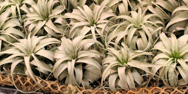 Epifita cose di casa for Tillandsia pianta