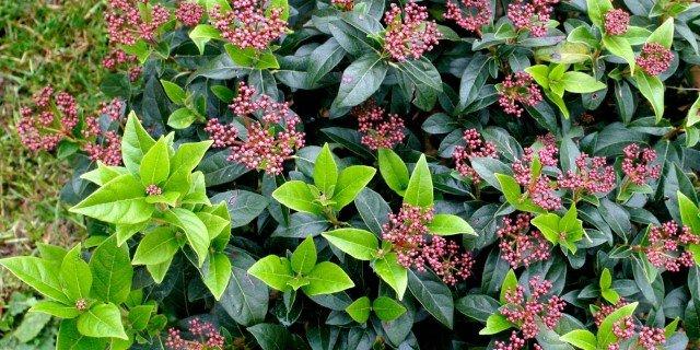 Viburnum tinus: il primo a fiorire