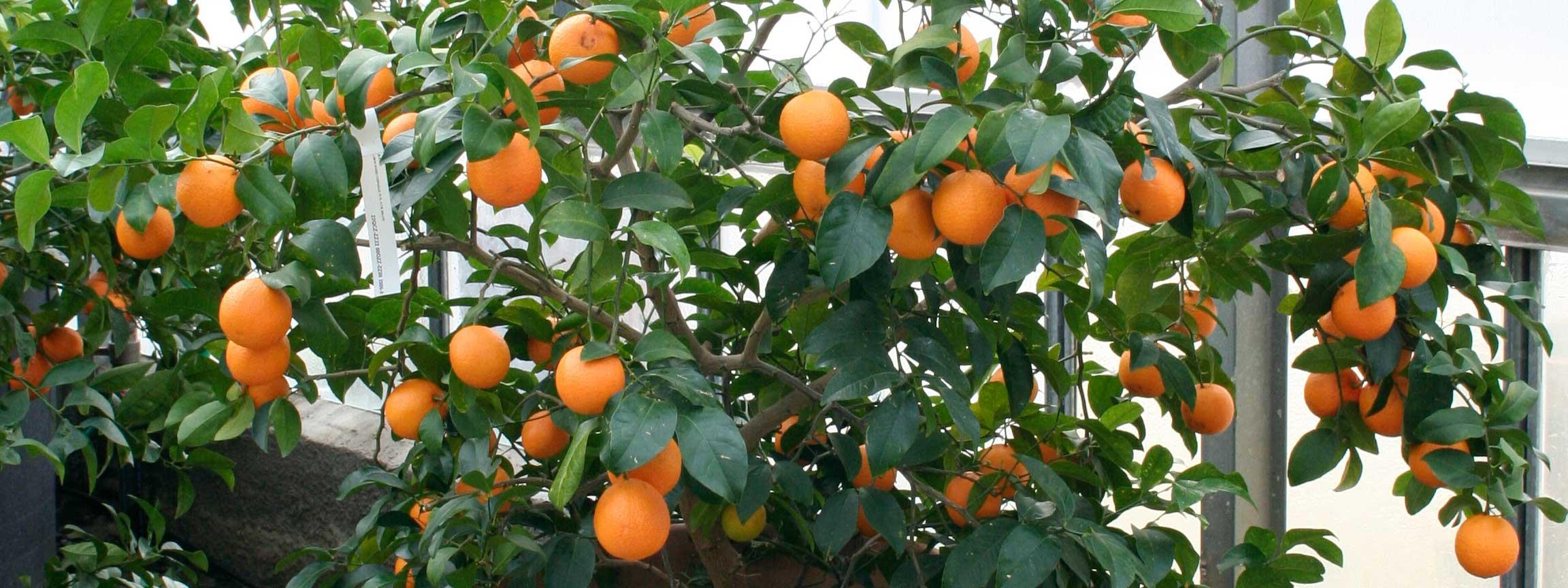 Saper comprare gli agrumi i migliori vivai cose di casa for Calendario concimazione agrumi