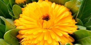 Calendula officinalis – Calendula a fiori doppi