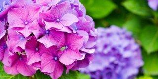 ortensie viole e blu