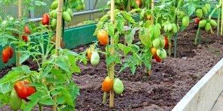 Pomodori: mese dopo mese, le cure giuste