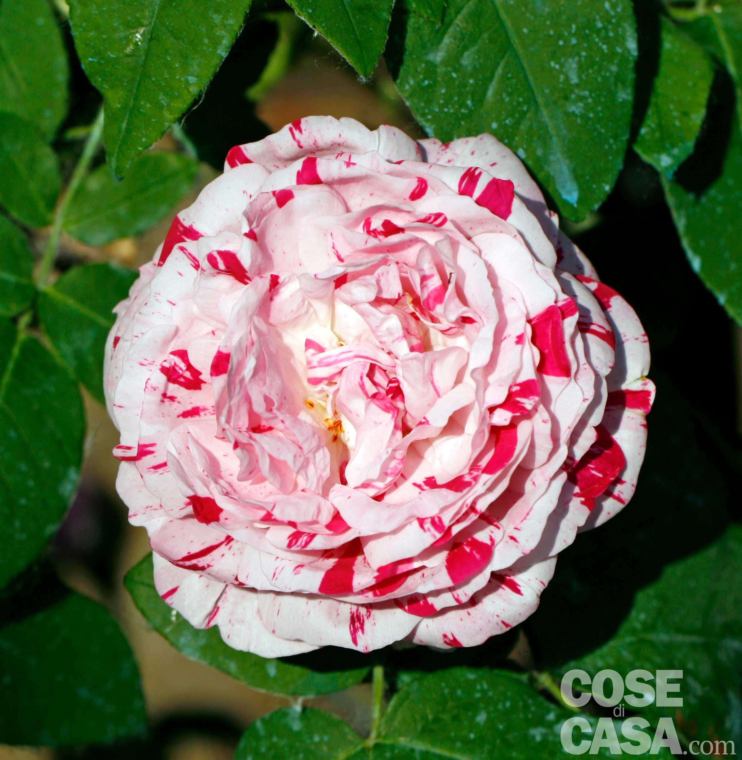 Rose una collezione storica con tante idee da copiare for Rosa pianta