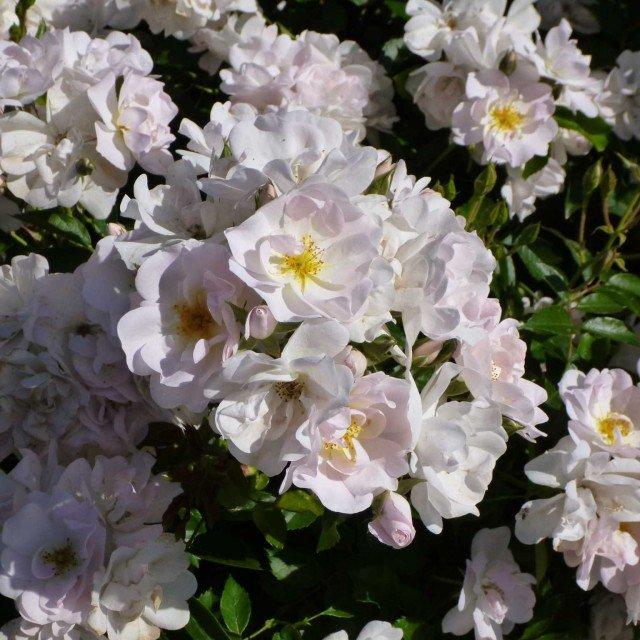 La rosa patio n. 17 di Davide Dalla Libera (Az. Agr. Novaspina) ha vinto in tre categorie: FLORIBUNDA, la più bella rosa italiana e la ROSA PER L'ARREDO URBANO.