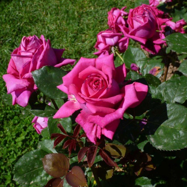 CATEGORIA HYBRID TEA: secondo posto BAR7702 di Rose Barni