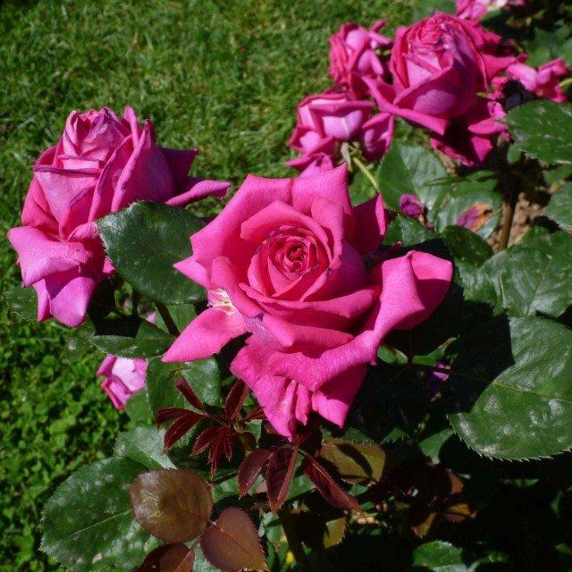 CATEGORIA HYBRID TEA: secondo posto BAR7702 di Rose Barni