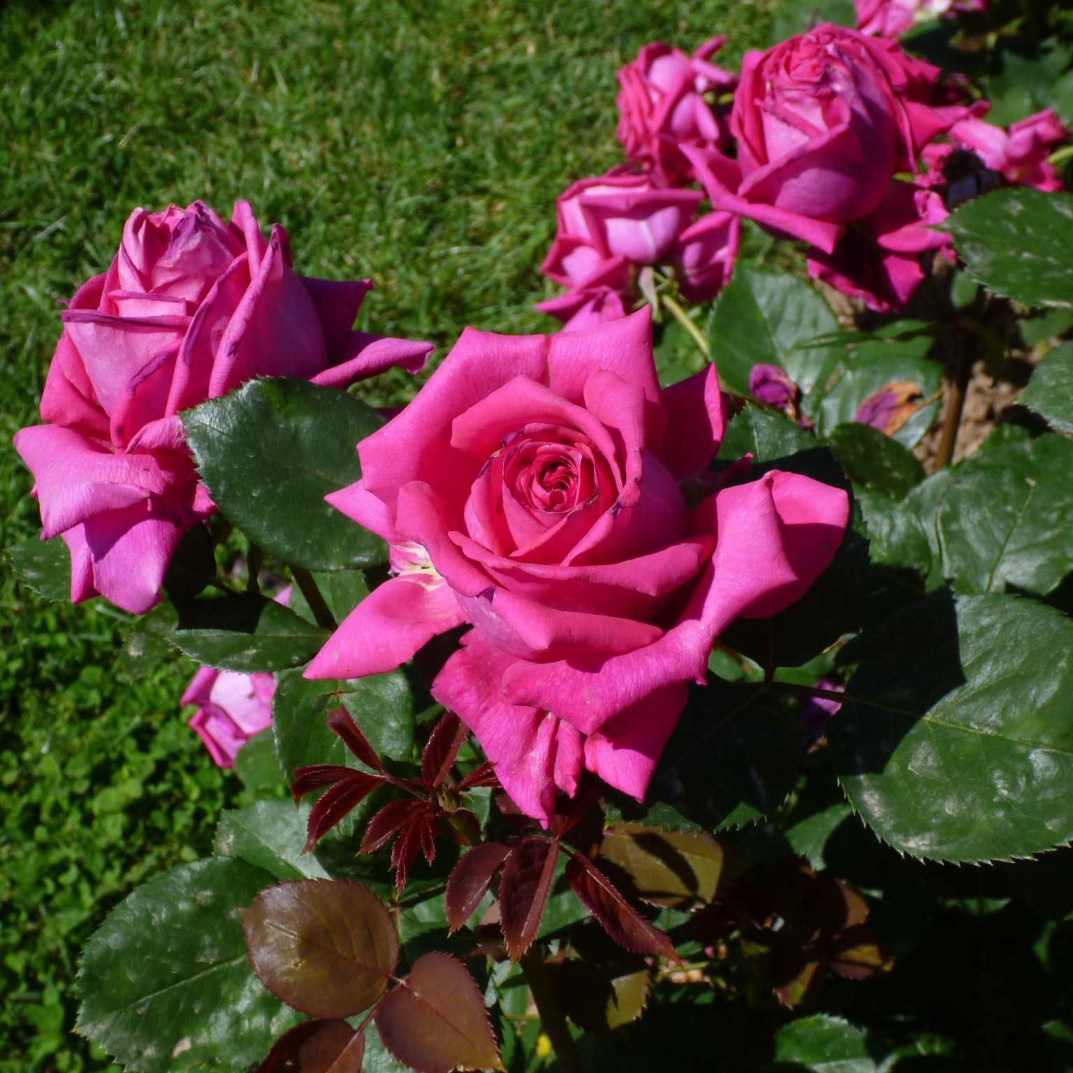 Attractive CATEGORIA HYBRID TEA: Secondo Posto BAR7702 Di Rose Barni