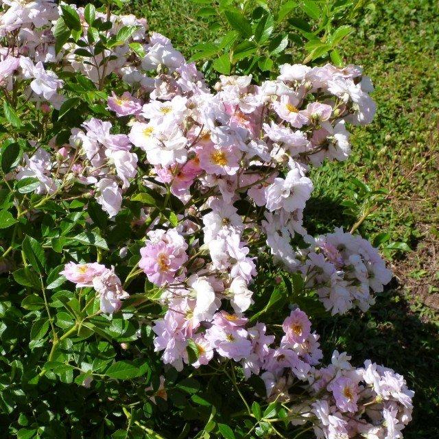 CATEGORIE SHRUB, CLIMBER, GROUND COVER, MINIATURE: secondo posto VEL 12 mtare – Y 232 di Ann Velle Boudolf, Lens Roses