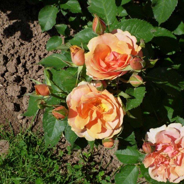 CATEGORIA FLORIBUNDA: terzo posto BAR 7656 di Rose Barni