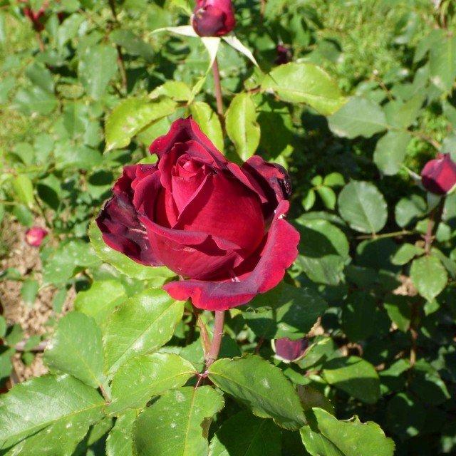 """Il premio """"LA ROSA PROFUMATA """" - CORONA DELLA REGINA TEODELINDA è stato assegnato a un rosso ibrido di Tea di Alain Meilland denominato con il numero 28. Il profumo è floreale rosato, tipo R. Damascena, fruttato cassis (ribes nero) con una nota di testa agrumata (bergamotto), che le dona un sentore di the Earl Grey."""