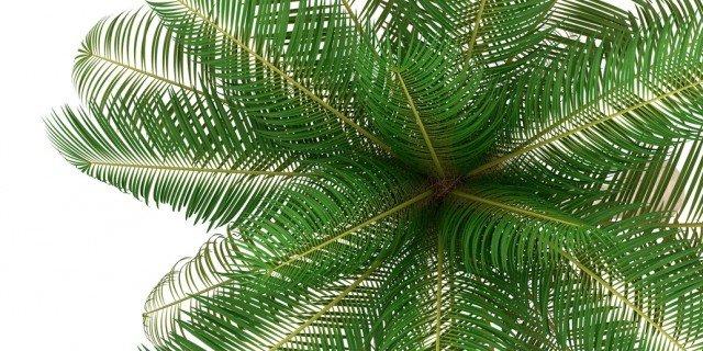 La palma da cocco - Cose di Casa