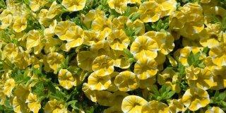 Calibrachoa: la super petunia