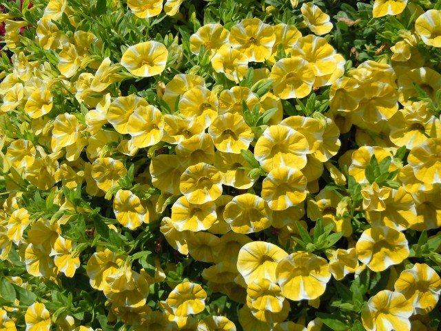 Lemon slice è di dimensioni maggiori rispetto alle altre varietà della serie Superbells e raggiunge un diametro e un'altezza di 40 cm proponendosi come pianta adatta a occupare da sola un vaso o un basket importante. I fiori di colore giallo hanno una forma rotonda con lobi meno pronunciati.