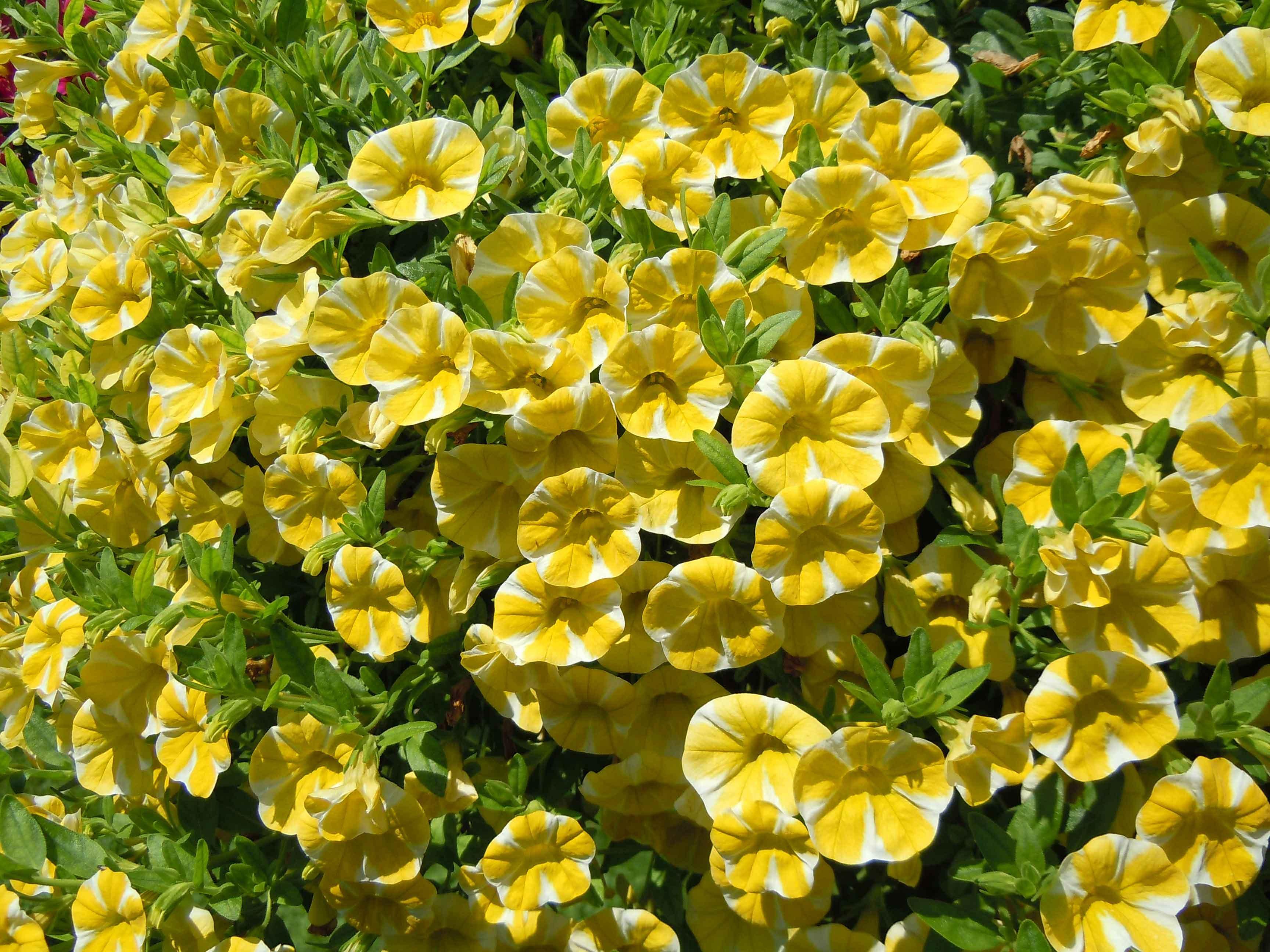 Calibrachoa La Super Petunia Cose Di Casa