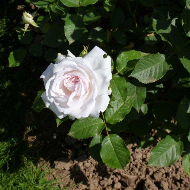 Nella categoria degli ibridi di Tea il premio è andato a una rosa bianco-rosata delicatissima, la n 45 dell'ibridatore Jerome Rateau (di Le Roses Anciennes André Eve)