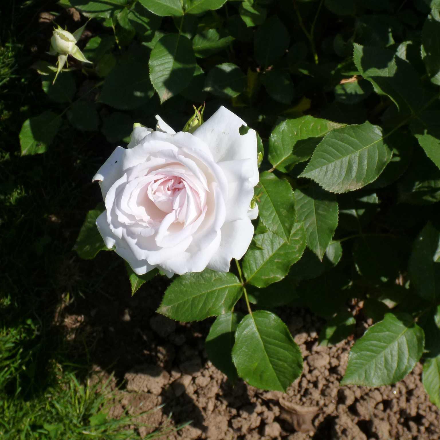 Nella Categoria Degli Ibridi Di Tea Il Premio è Andato A Una Rosa  Bianco Rosata