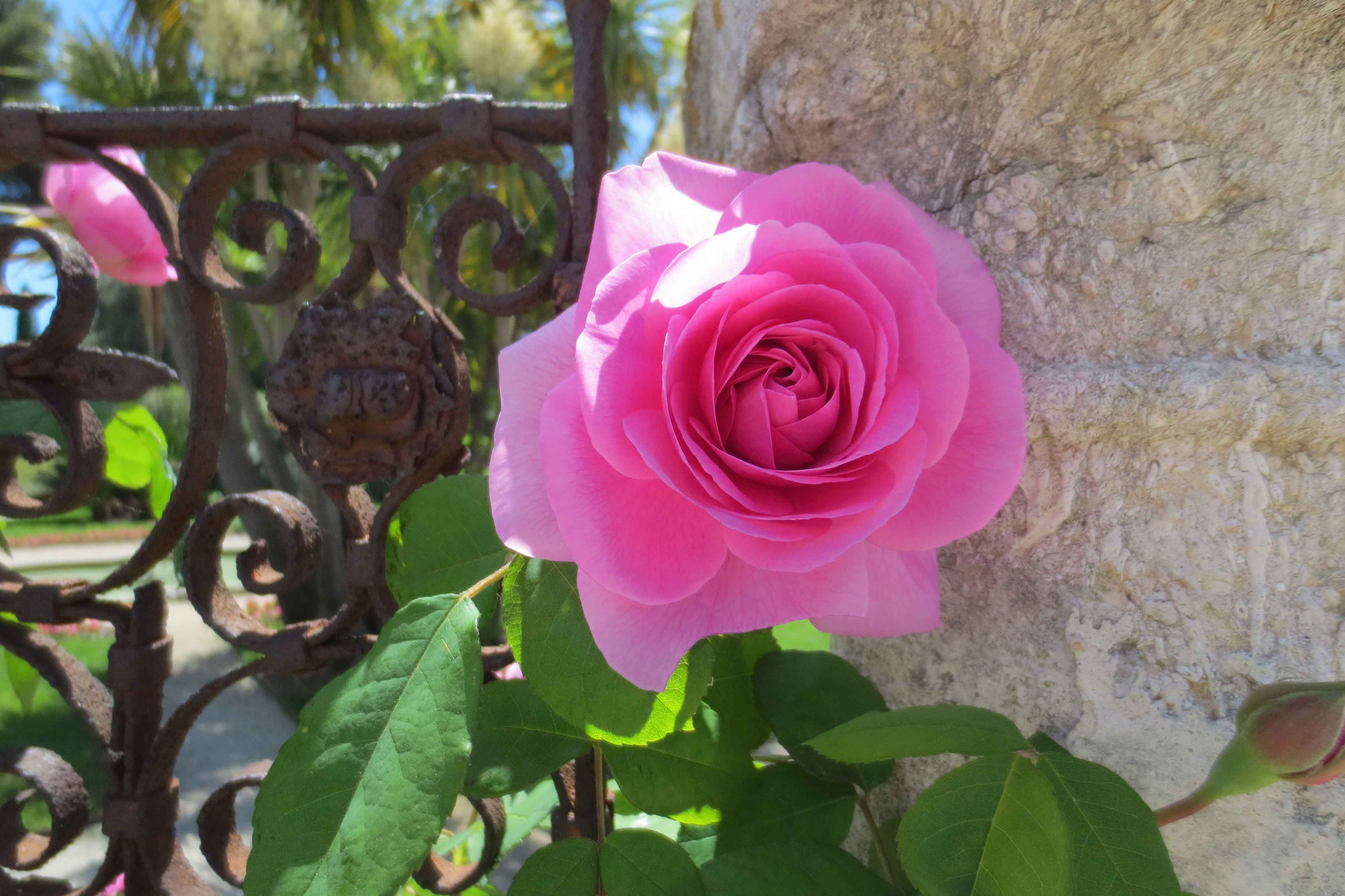 Malattia delle rose foglie bucate cool i rimedi della for Ruggine delle rose