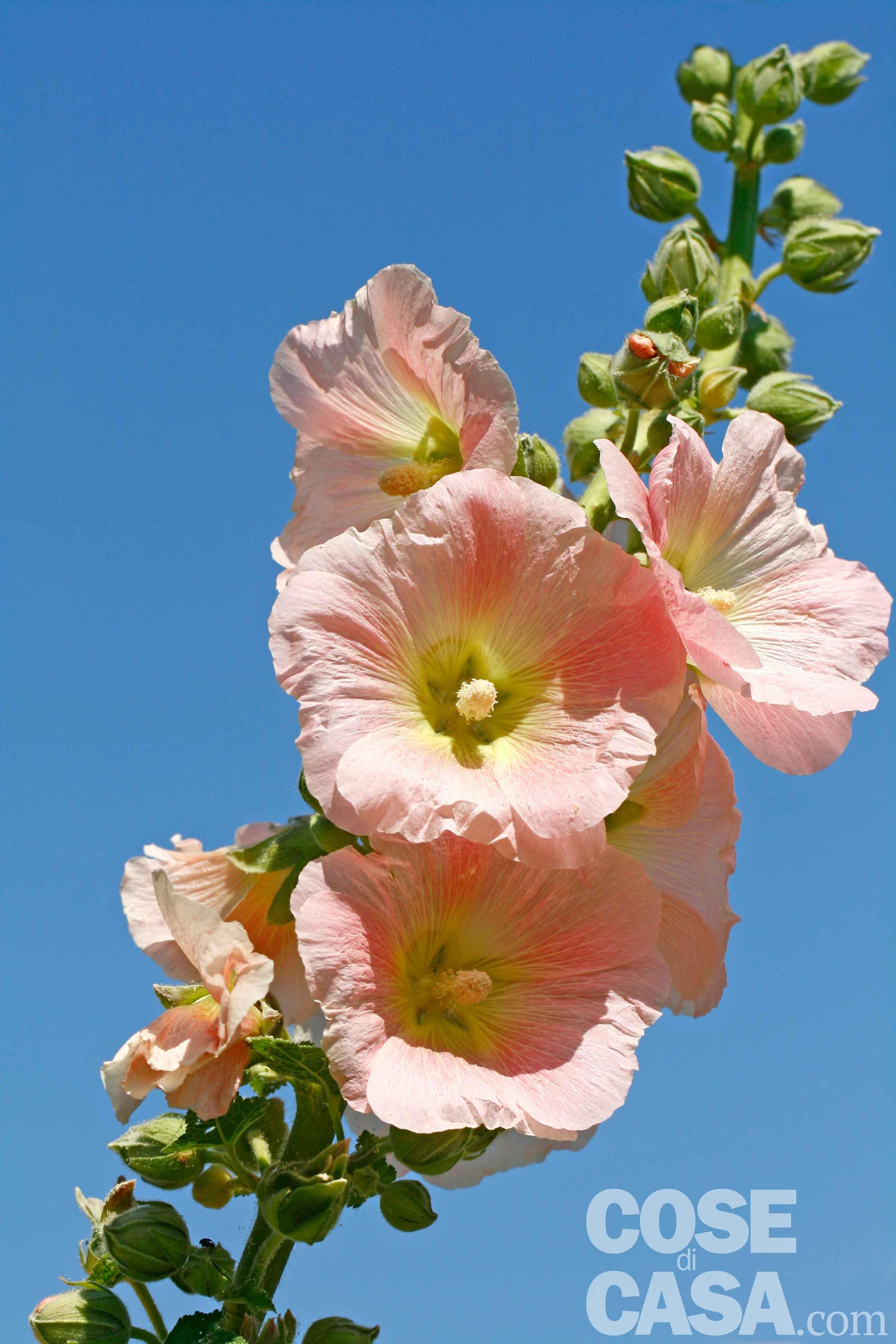 Quante Varietà Di Rose Esistono malvarosa, malva e cugine: tipologie, cure, messa a dimora