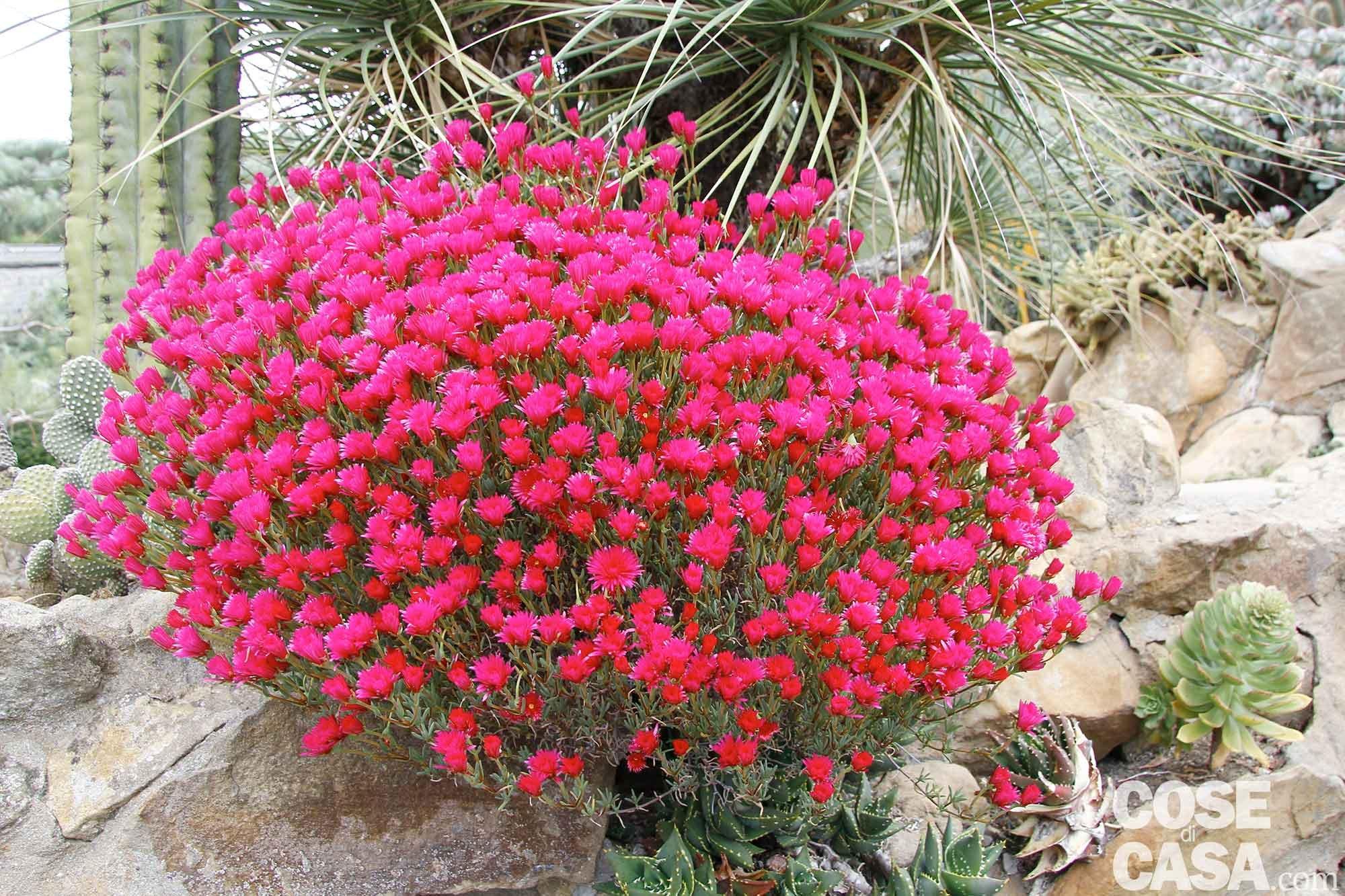 Fiori di cactus cose di casa for Piante in vaso pieno sole