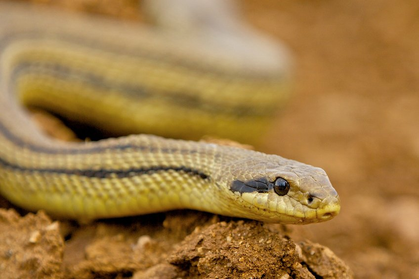 Un serpente in giardino che fare cose di casa for Serpente cervone