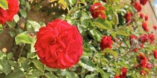 Rose: pronte per la seconda fioritura
