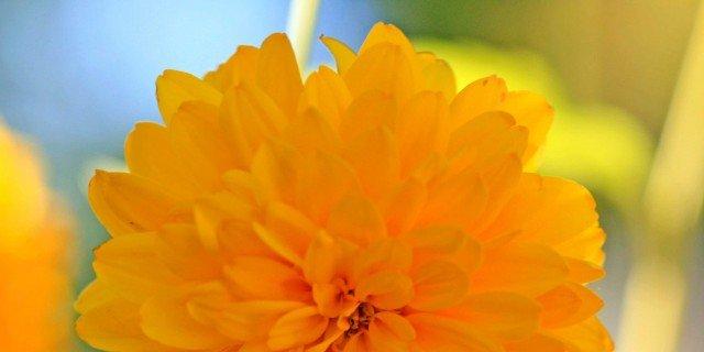 "Rudbeckia laciniata ""Goldquelle"""