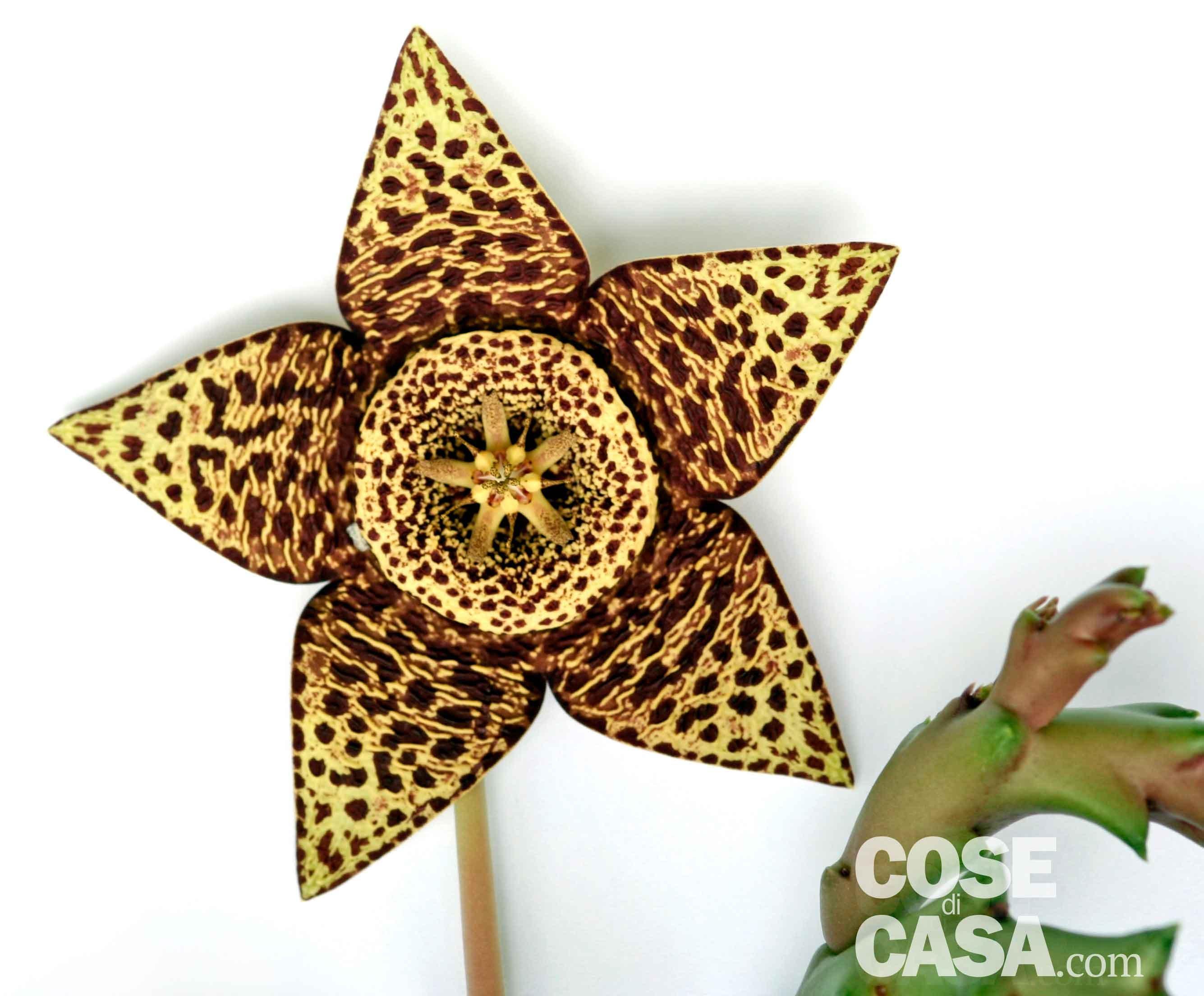 Fiori di cactus cose di casa - Come curare un orchidea in casa ...