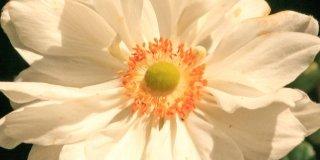 "Anemone x hybrida ""Whirlwind"""