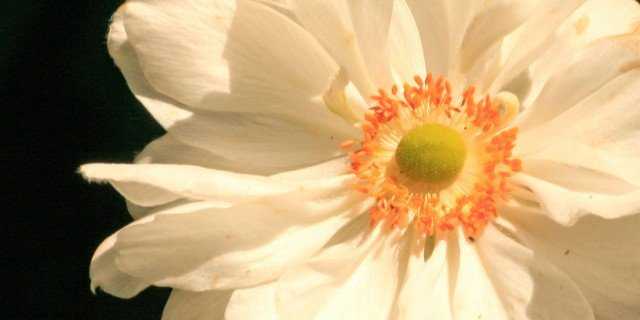 Anemone giapponese cose di casa for Anemone giapponese