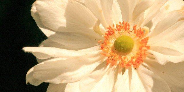 """Anemone x hybrida """"Wirlwind"""""""