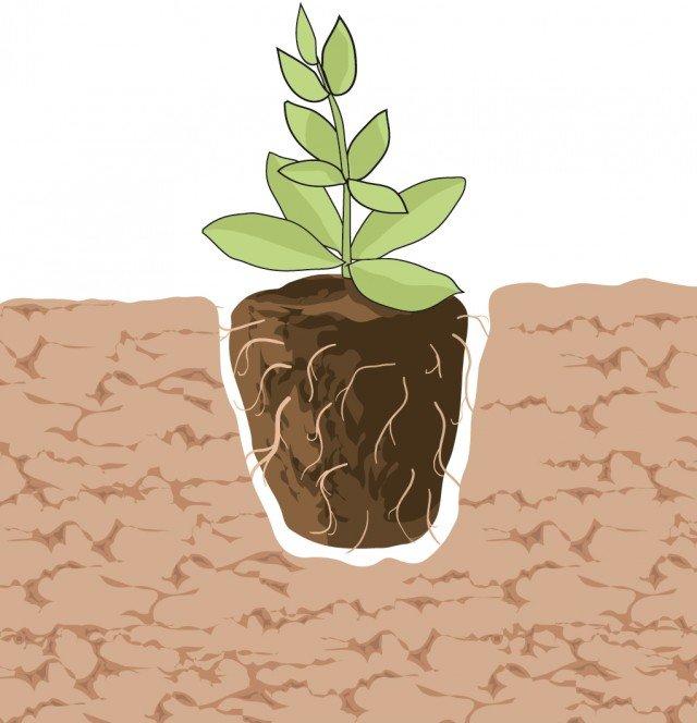 2- Le buche devono essere profonde quanto il pane di terra. È fondamentale che il colletto (la parte compresa tra radice e fusto) resti, di pochi centimetri appena fuori dal terreno.