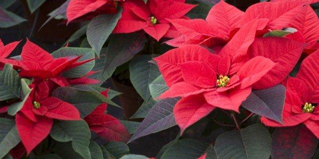 Come far tornare rossa la Stella di Natale?