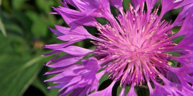 "Centaurea hypoleuca ""John Coutts"" – fiordaliso"
